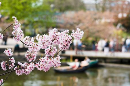 cherry-blossoms-copenhagen.jpg