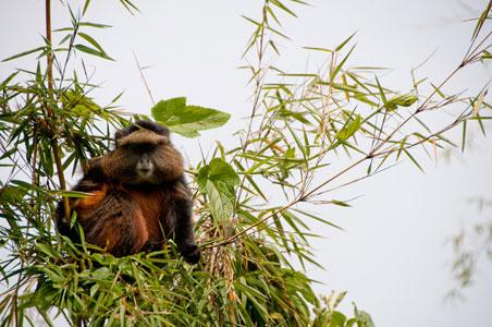 golden-monkey-rwanda.jpg