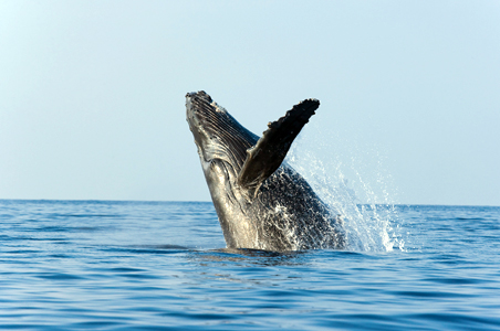 hawaii-whale-watching-maui.jpg