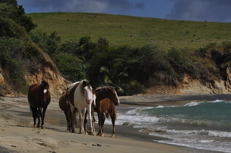 horses-beach-vieques_resized.jpg