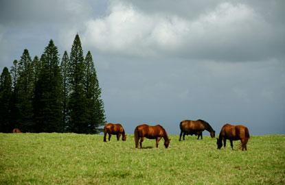 horses-maui.jpg