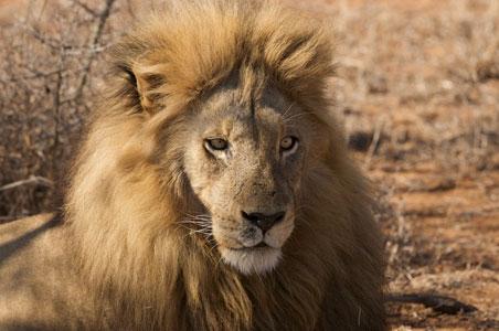 hospidor-lion.jpg