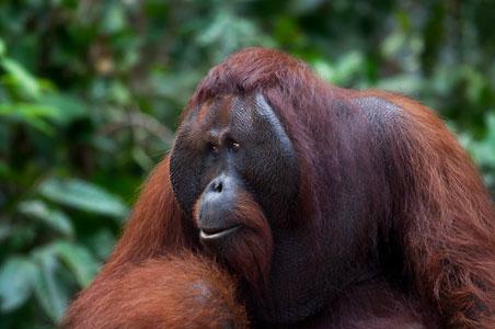hospidor-orangutan-2.jpg