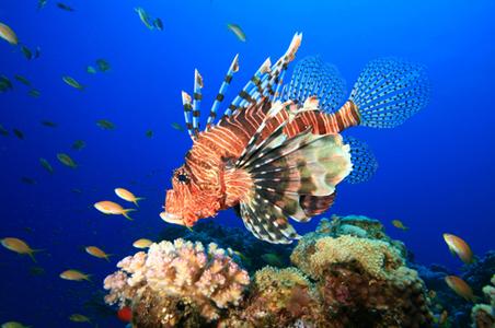 lionfish-rivieramaya.jpg