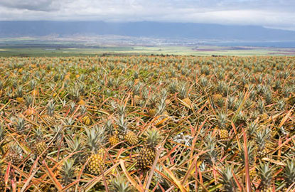 maui-gold-pineapple-farm.jpg