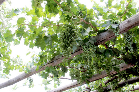 mendoza-grapes.jpg