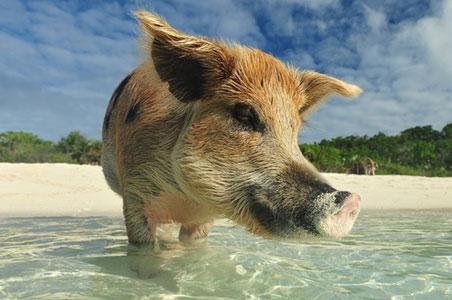 pig-beach-bahamas-2.jpg