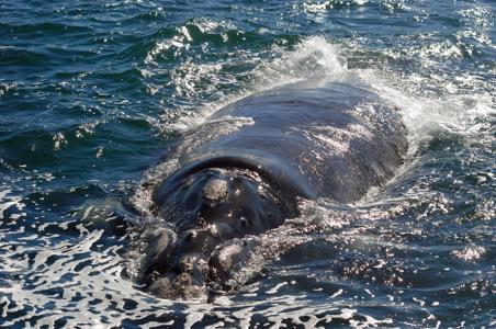 right-whale-hermanus.jpg