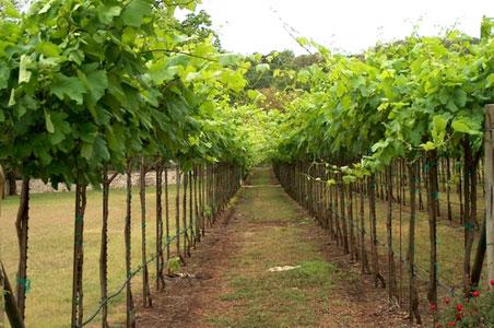 texas-vineyards.jpg