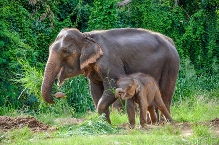 thai-elephants.jpg
