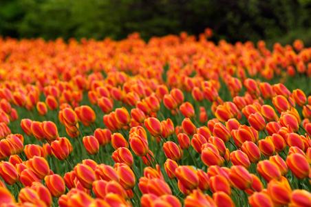 tulips-Ottawa-Canada.jpg