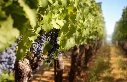 vineyardgrape3.jpg