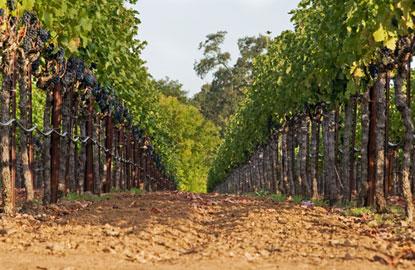 vineyardrow2.jpg