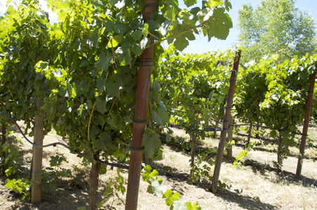 west-winery-grapes.jpg