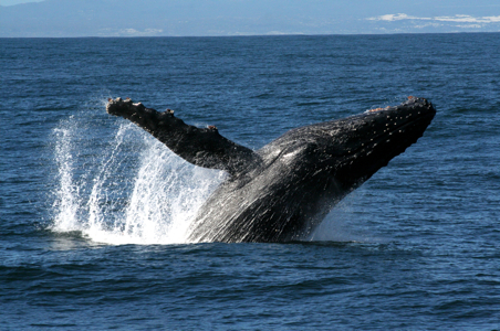whale-watching-hermanus-south-africa.jpg