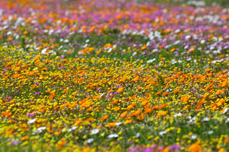 wildflowers-south-africa.jpg