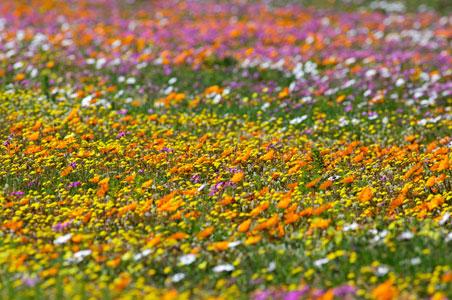 wildflowers-south-africa.jpg