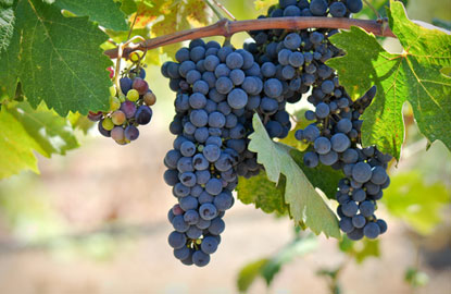 winegrapes5.jpg