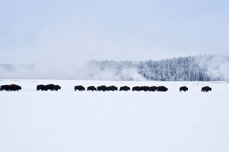 yellowstone-bison-winter.jpg