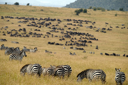 zebras-great-migration-cottars.jpg