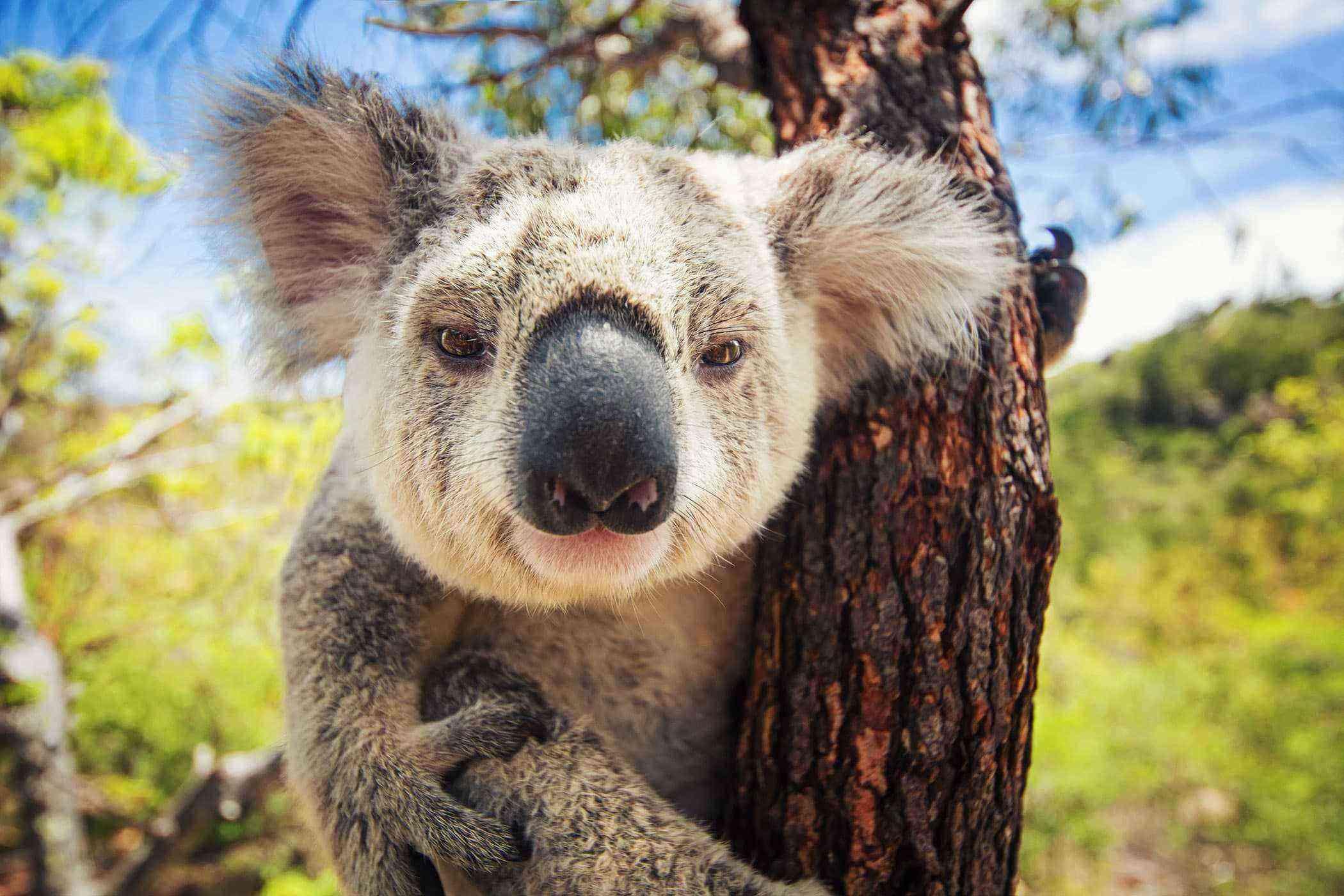 koala australian wildlife animals australia bear climate koalas help strange change looking english byron bay 80km clinging survives hit ride
