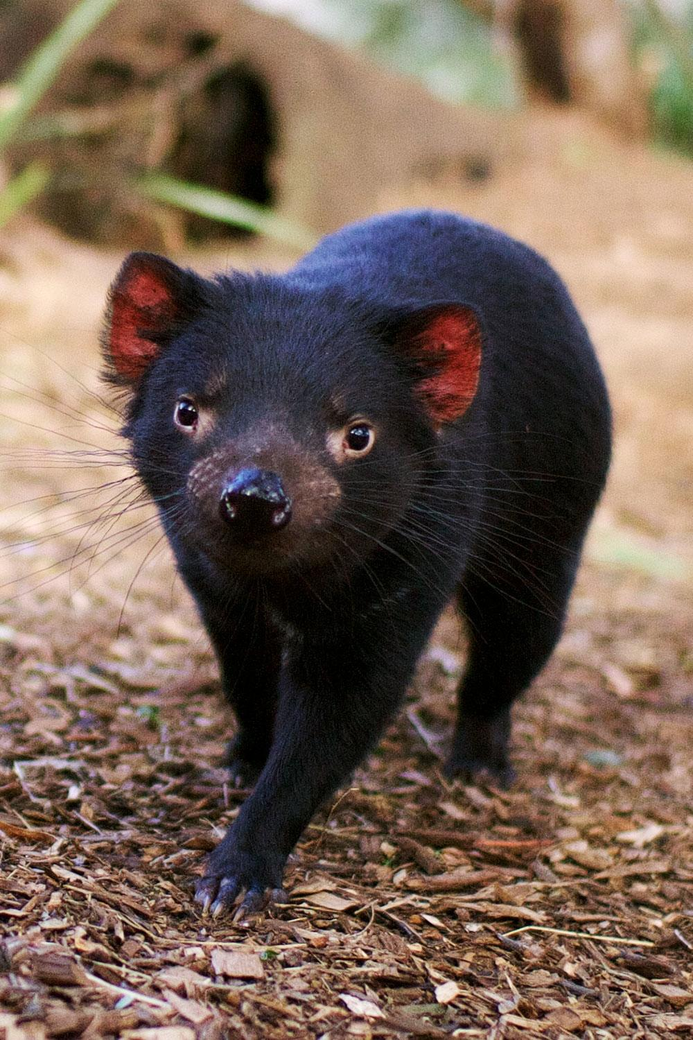 9 places where you can find an actual tasmanian devil fodors travel guide - Tasmanian devil pics ...