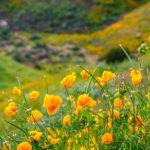 Check Out Our Photos From California's Incredible Wildflower Super Bloom