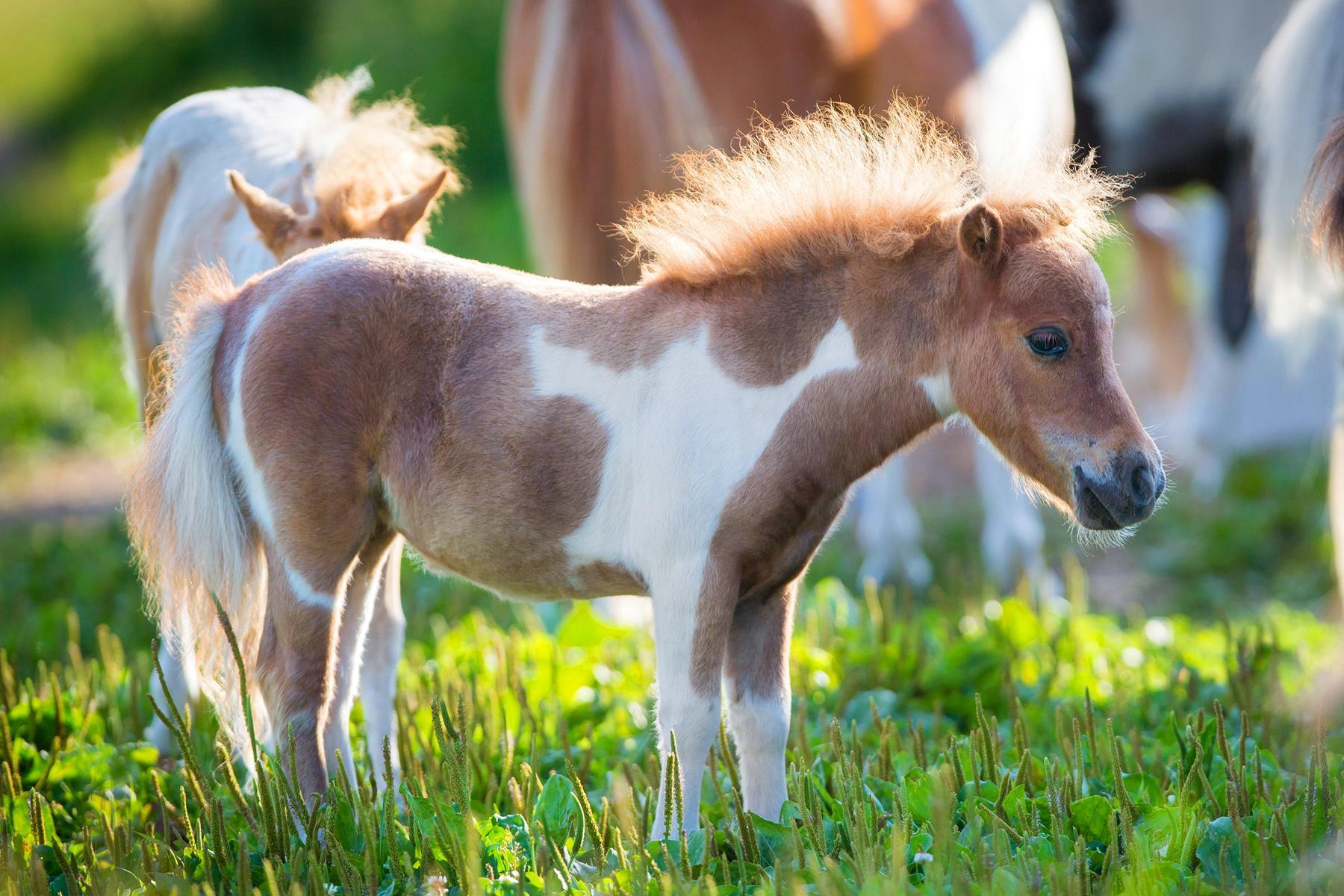 mini horse 2