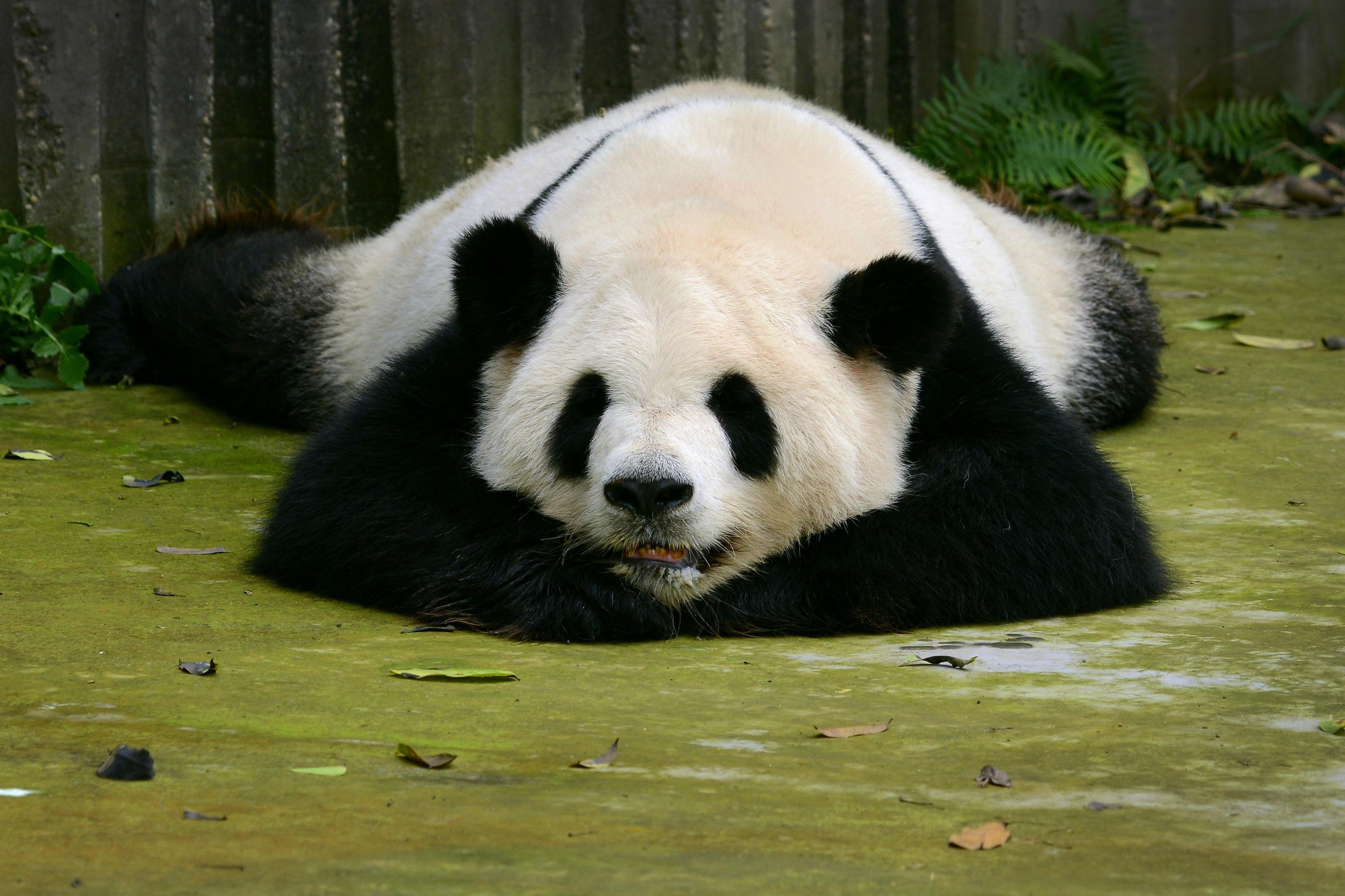 How to Visit Pandas in Chengdu, China