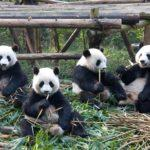 Pandas 101: Everything You Need to Know About Visiting 'Large Bear Cats' in Chengdu, China