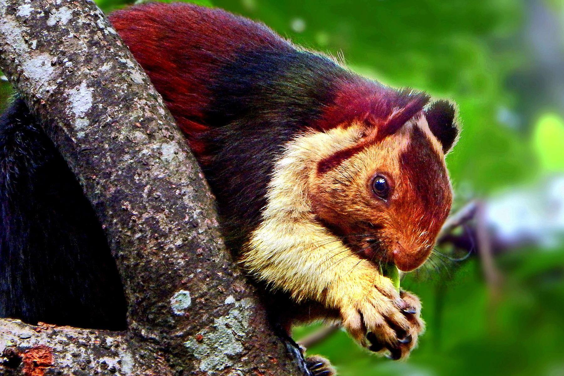 Malabar Giant Squirrel Rison Thumboor Wikimedia Commons