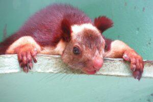 Malabar Giant Squirrel Samarth V Dangre Wikimedia Commons