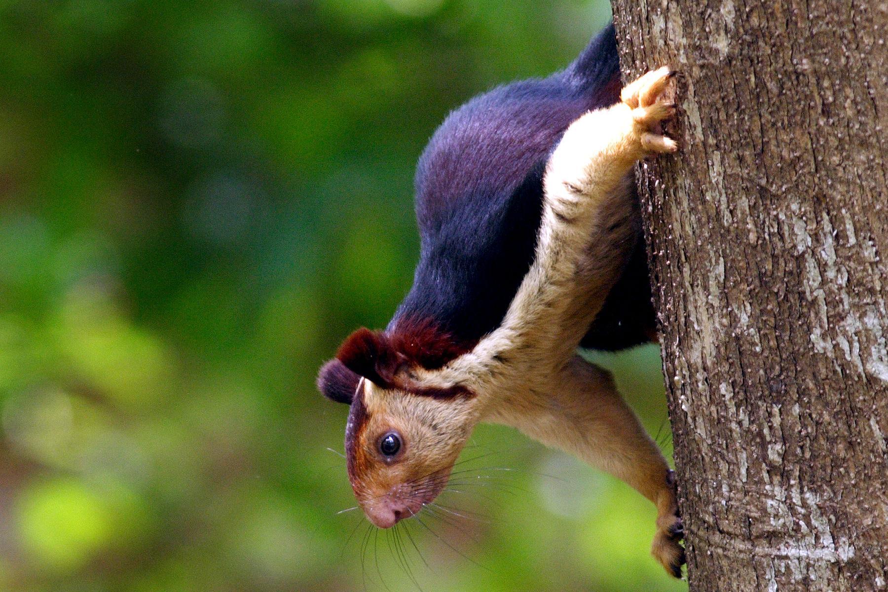 Malabar Giant Squirrel, Wikimedia Commons, N.A. Nazeer