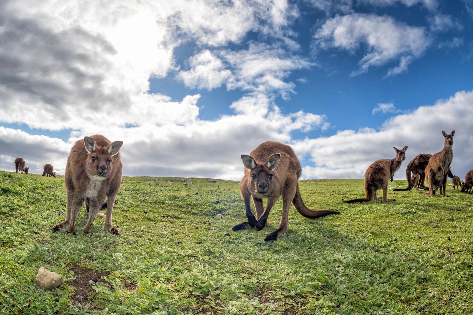 kangaroo fam