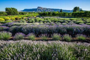 11 U.S. Lavender Farms You Can Visit