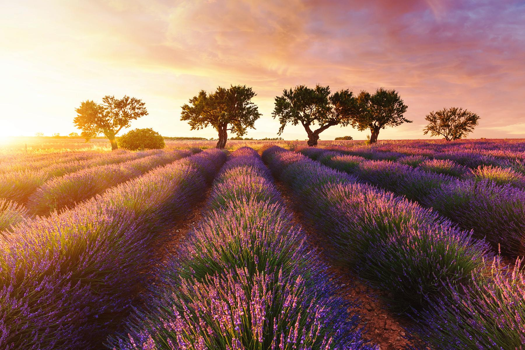 01_FamilyBackdrops__TheFrenchLavenderField_iStock-965366264