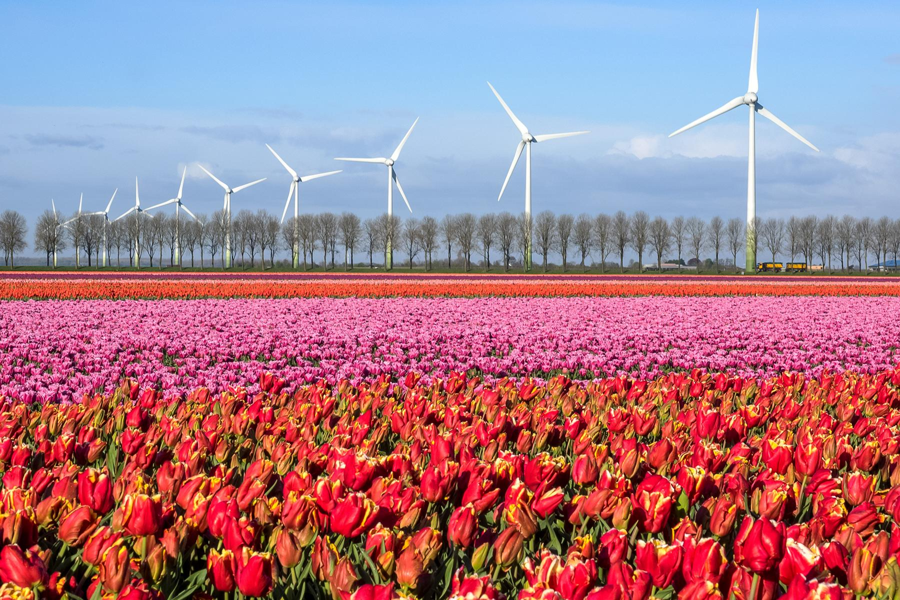 02_FamilyBackdrops__TheDutchTulipFields_Tulpenroute Dronten - full_rgb_11773