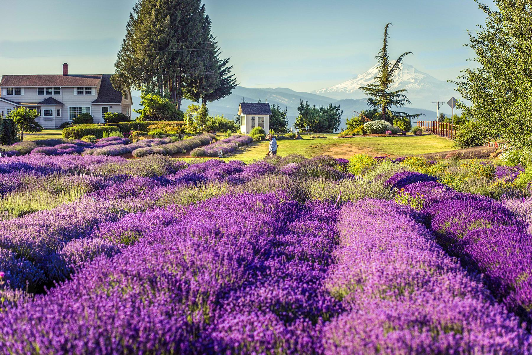 11 U S  Lavender Farms You Can Visit