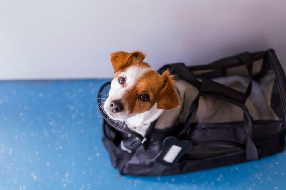 The Cost of Flying With Your (Non-Emotional Support) Pet