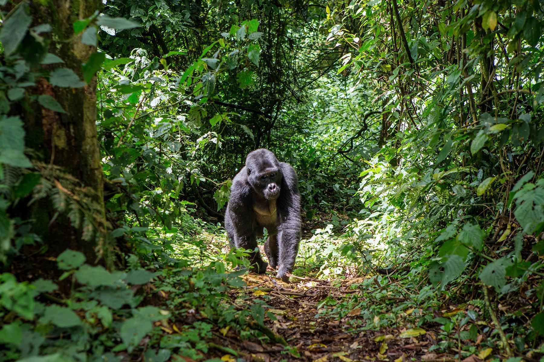 jungle cruise gorilla