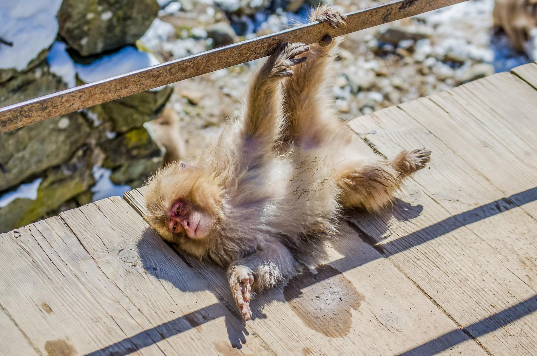 Jigokudani Monkey Park: Where to See Snow Monkeys Bathing in Japan's Onsens