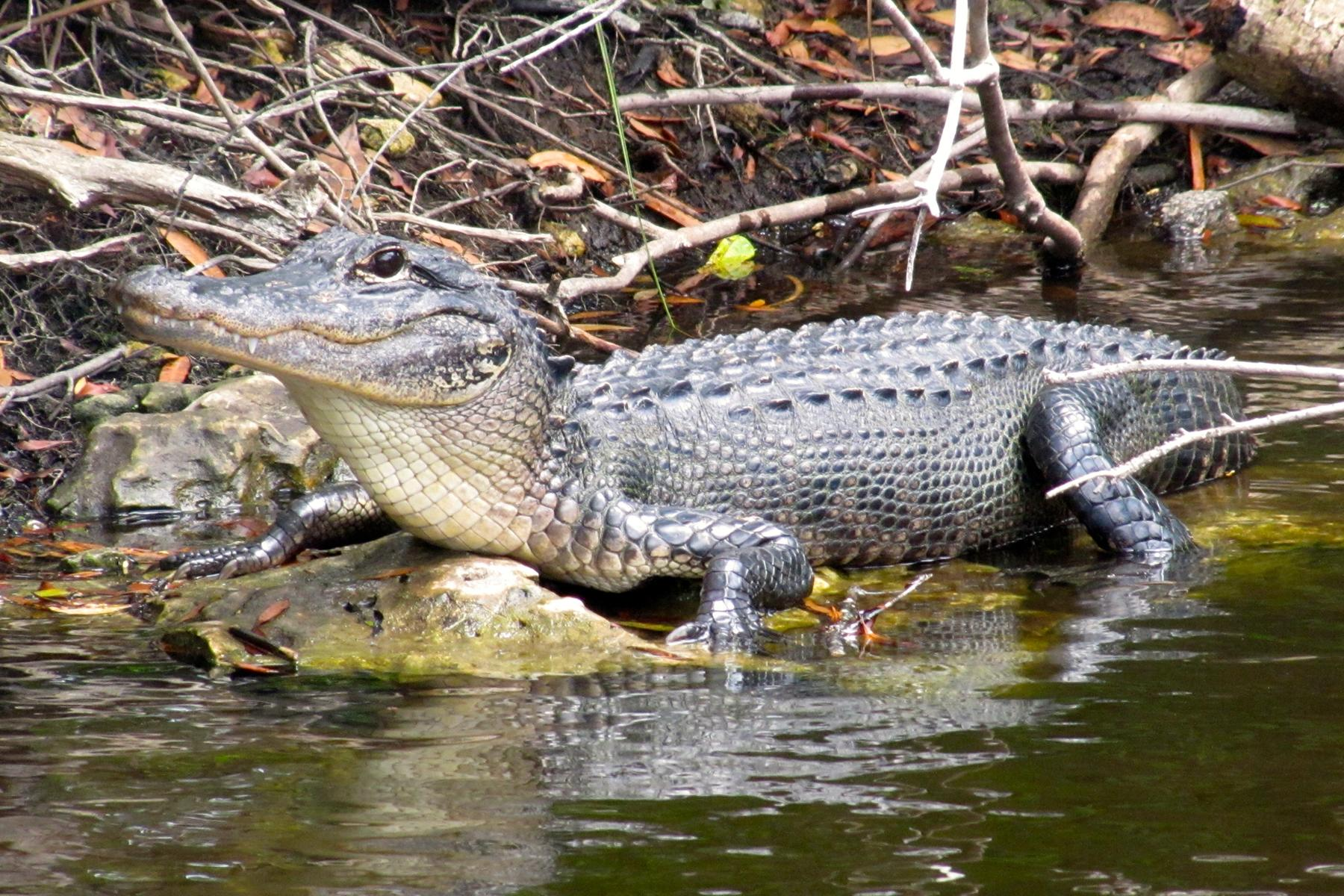 Alligators in Florida Are Climbing Fences and Swimming Through Streets
