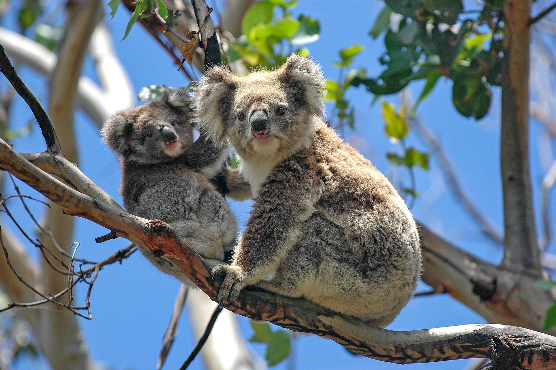 01_AustraliasCutestCubs__Koala_shutterstock_141480565