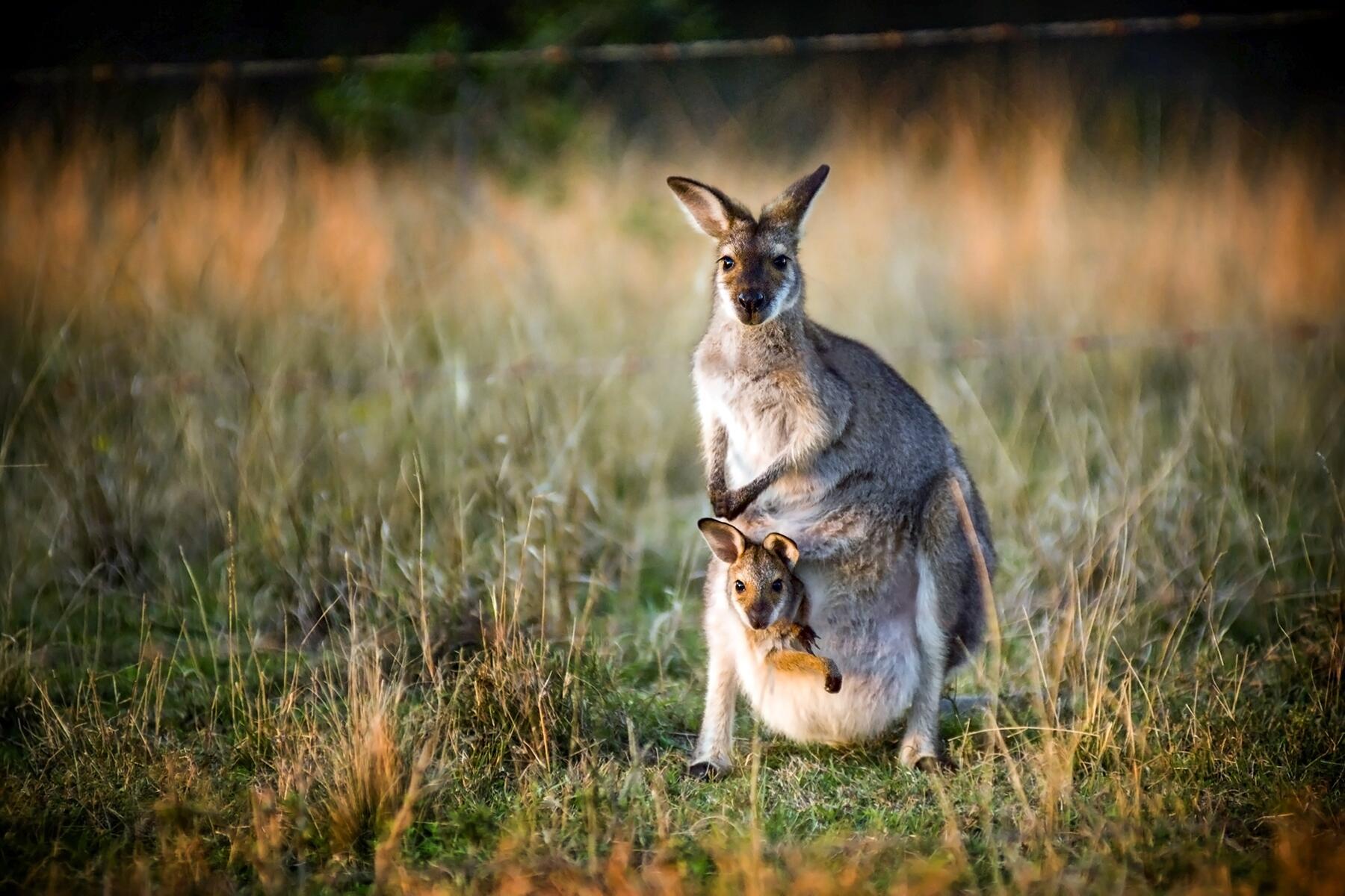 02_AustraliasCutestCubs__Kangaroo_shutterstock_60942844