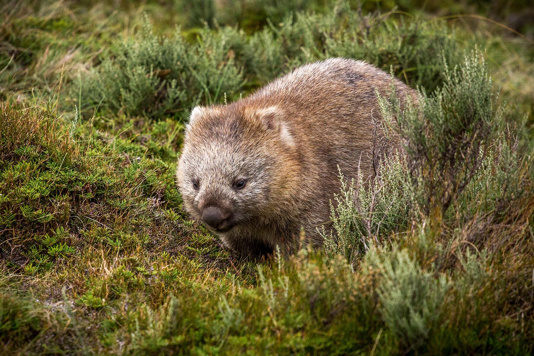 05_AustraliasCutestCubs__Wombat_shutterstock_619062299
